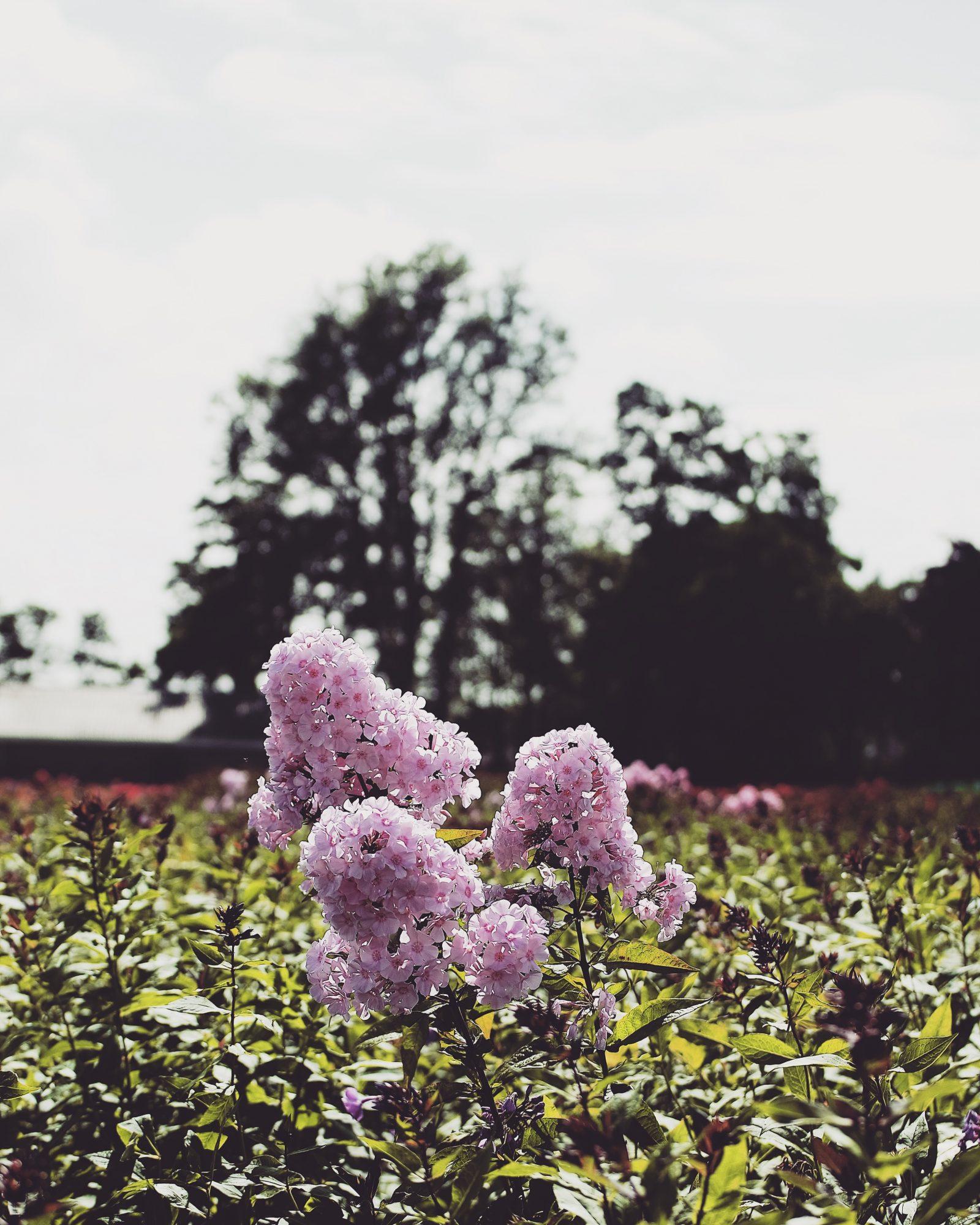 48 Hours In Amsterdam - Pink Flower Fields