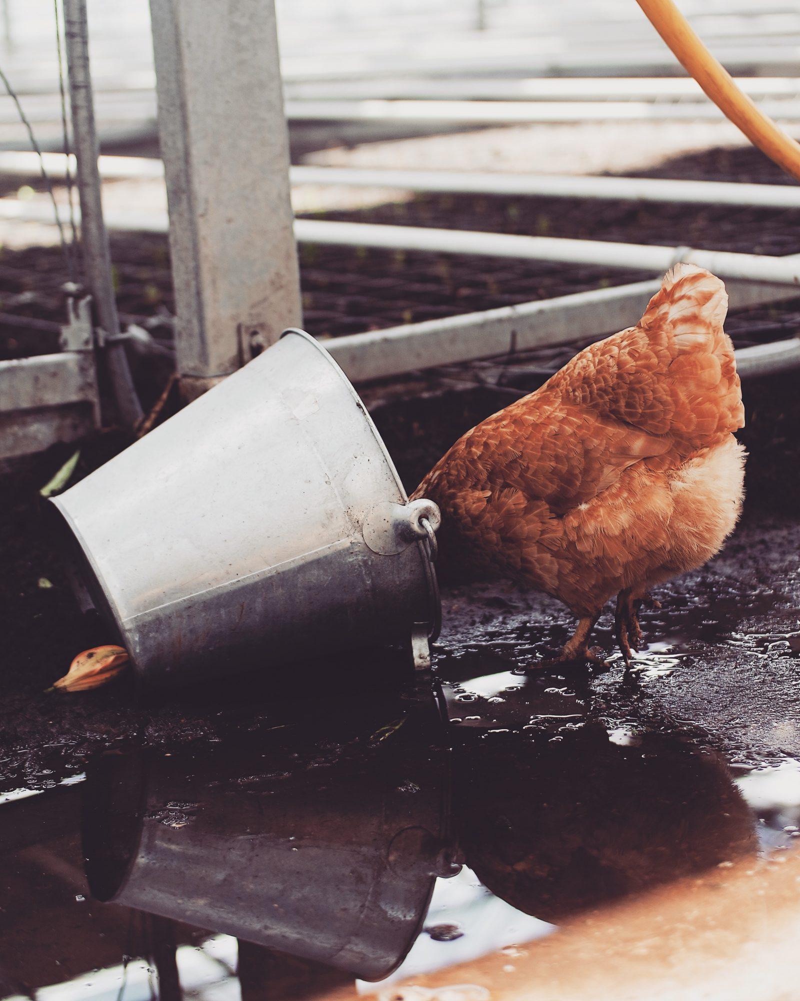 48 Hours Amsterdam - Chicken