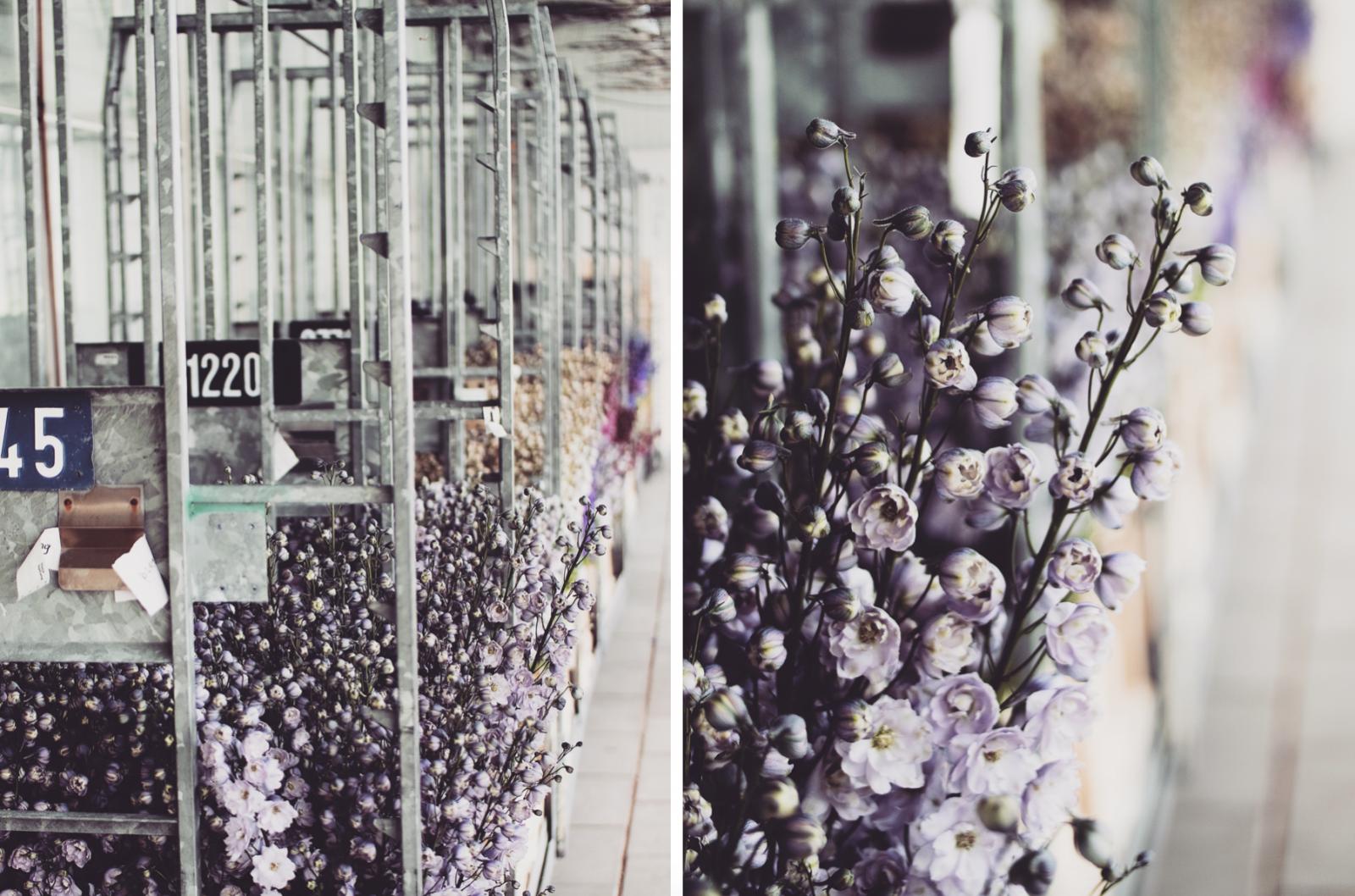 48 Hours In Amsterdam - Purple Dahlia