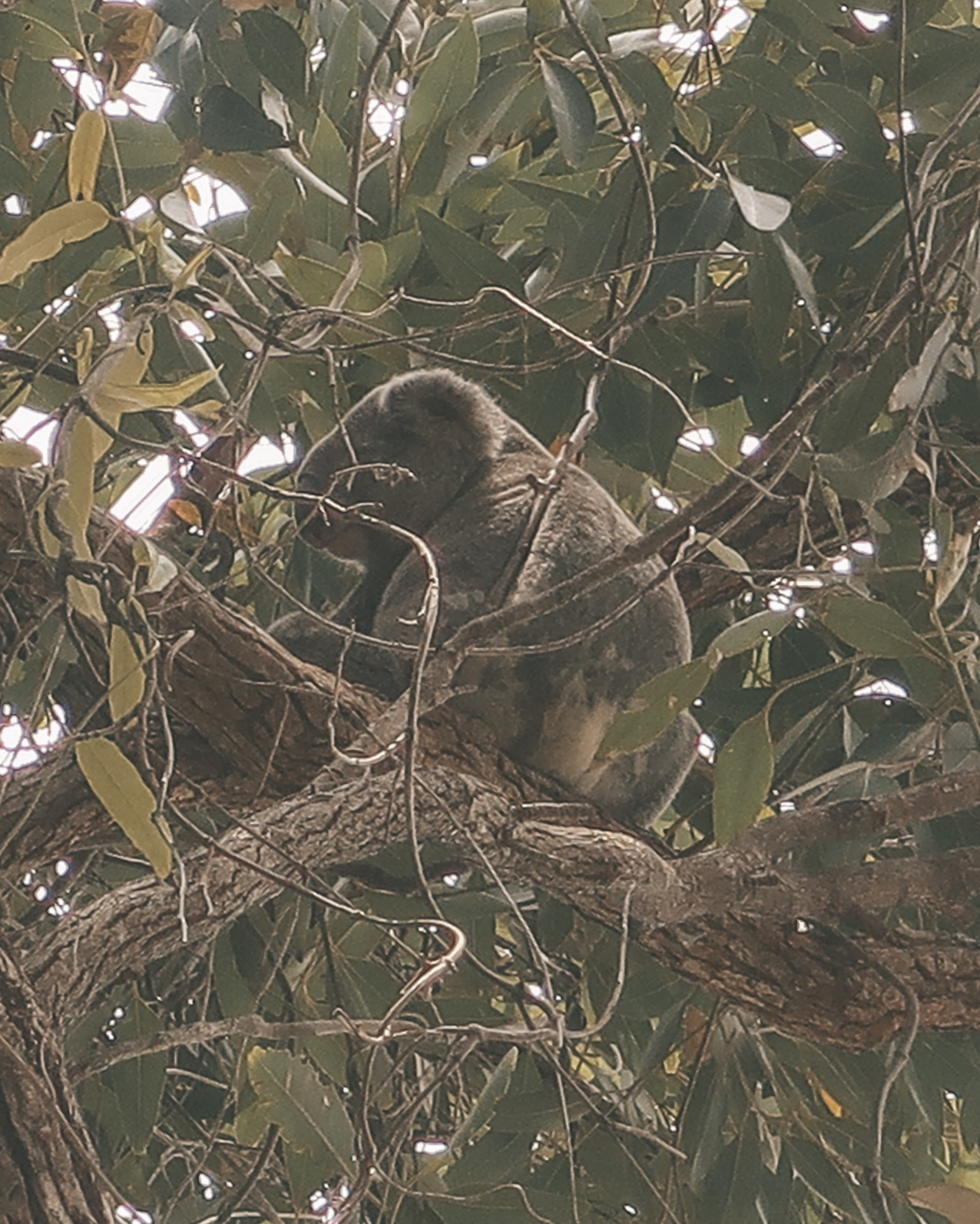 Honeymoon in Australia - Wild Koala Bear