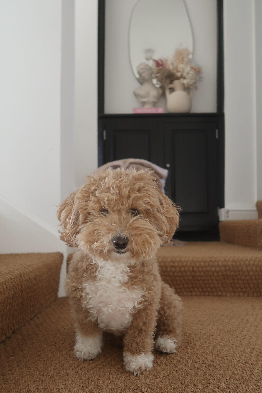Hallway Decorating Ideas - Poochon Puppy